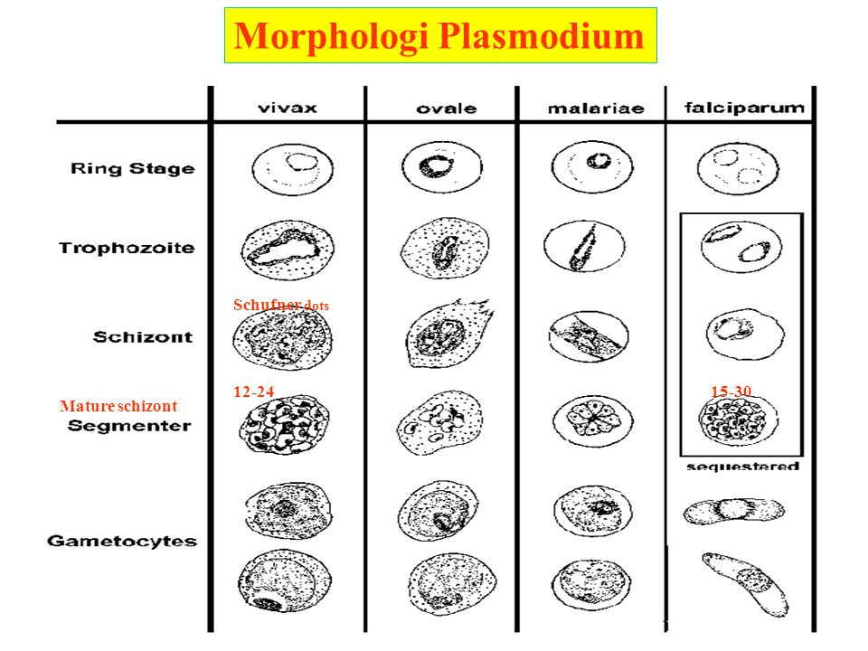 Morphologi Plasmodium