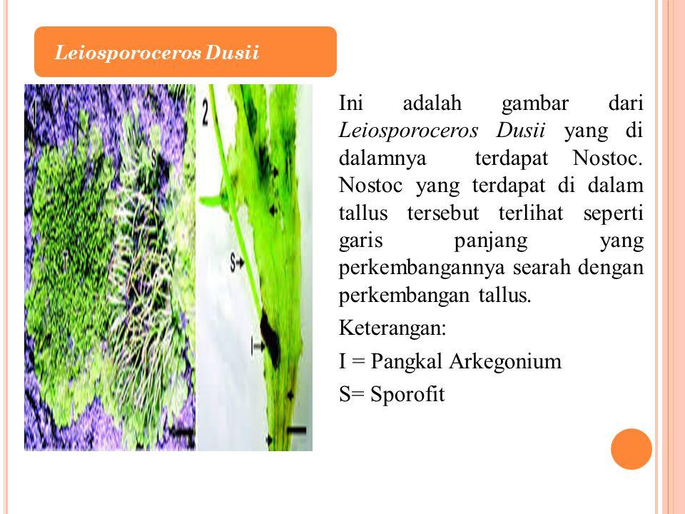 Leiosporoceros Dusii