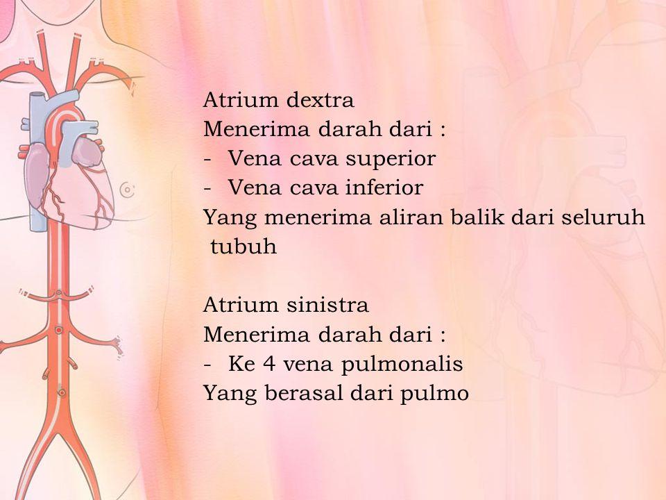 Atrium dextra Menerima darah dari : Vena cava superior. Vena cava inferior. Yang menerima aliran balik dari seluruh.