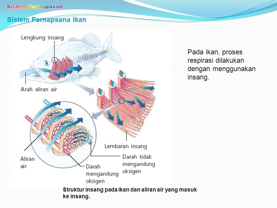 Sistem Pernapasan Sistem Pernapsana Ikan