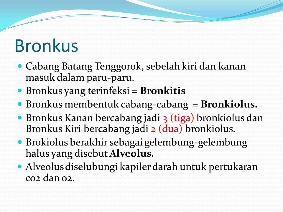 Bronkus Cabang Batang Tenggorok, sebelah kiri dan kanan masuk dalam paru-paru. Bronkus yang terinfeksi = Bronkitis.