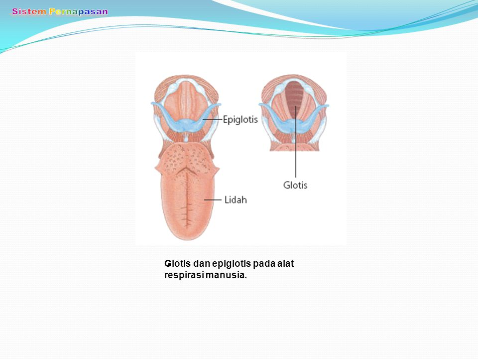Sistem Pernapasan Glotis dan epiglotis pada alat respirasi manusia.