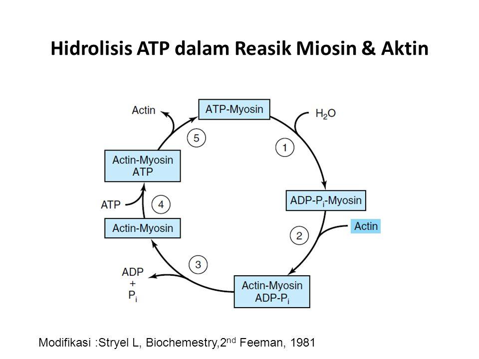 Hidrolisis ATP dalam Reasik Miosin & Aktin
