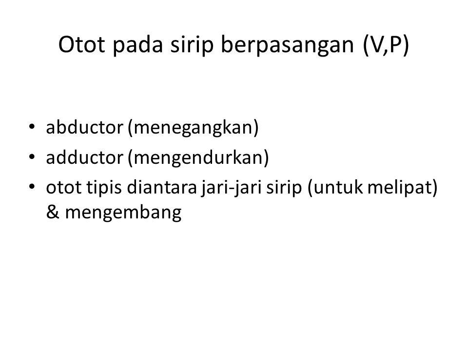 Otot pada sirip berpasangan (V,P)