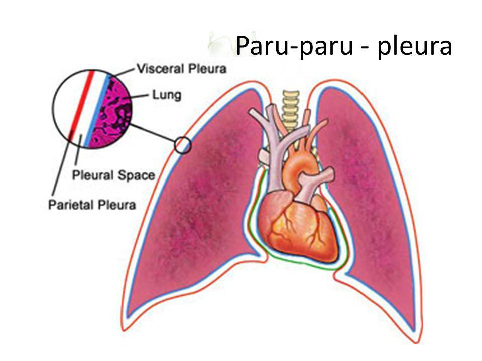 Paru-paru - pleura Pleural space: berisi cairan limfatik