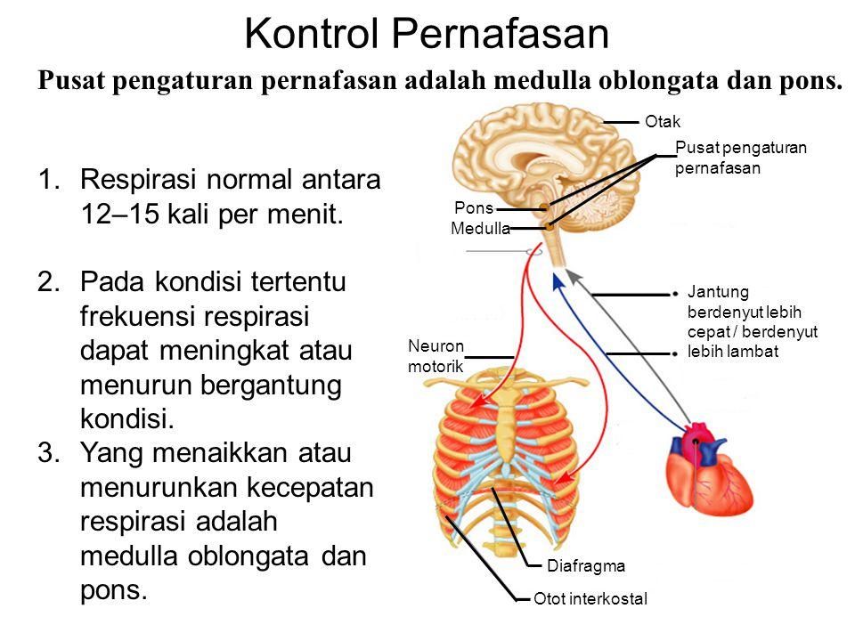 Kontrol Pernafasan Pusat pengaturan pernafasan adalah medulla oblongata dan pons. Pons. Medulla. Otak.