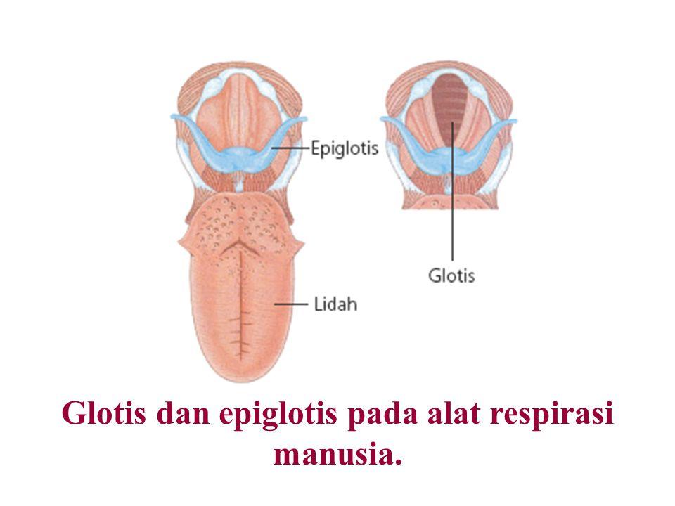 Glotis dan epiglotis pada alat respirasi manusia.