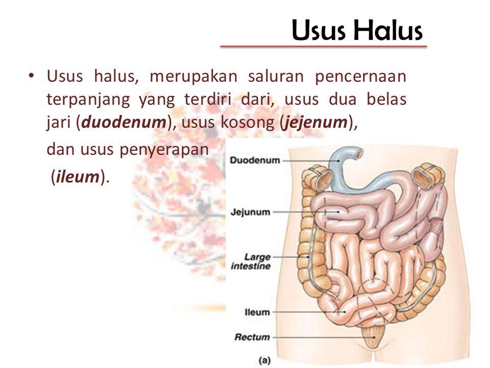 Usus Halus Usus halus, merupakan saluran pencernaan terpanjang yang terdiri dari, usus dua belas jari (duodenum), usus kosong (jejenum),