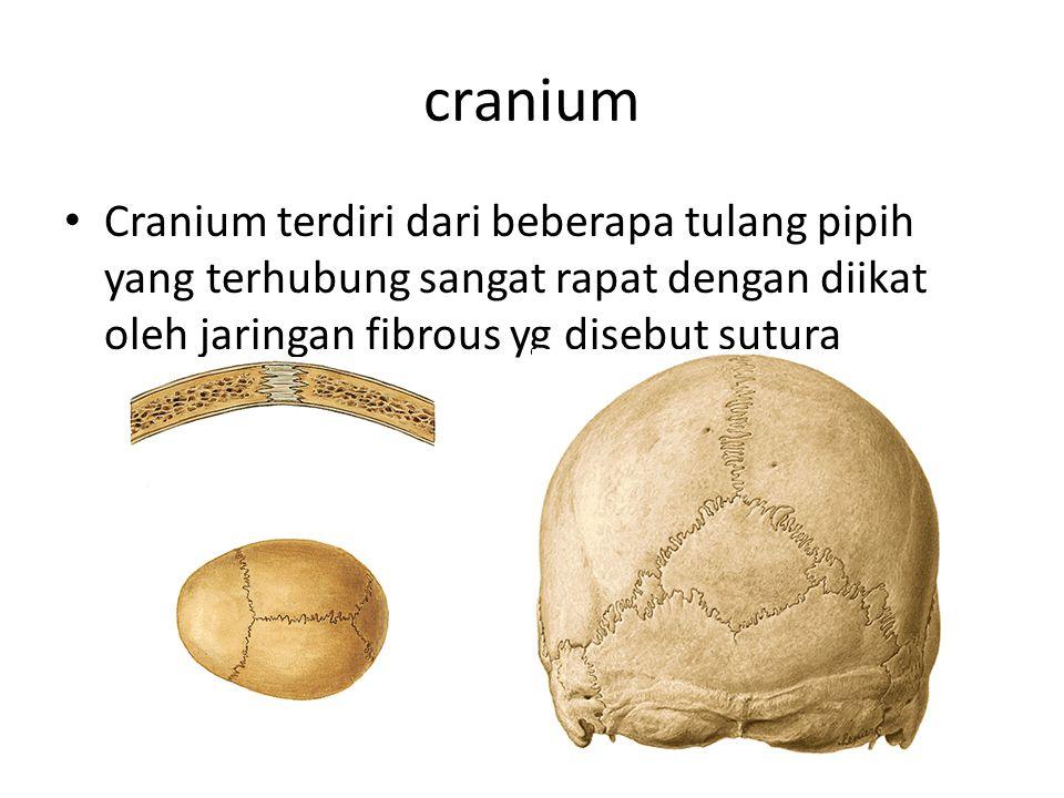 cranium Cranium terdiri dari beberapa tulang pipih yang terhubung sangat rapat dengan diikat oleh jaringan fibrous yg disebut sutura.