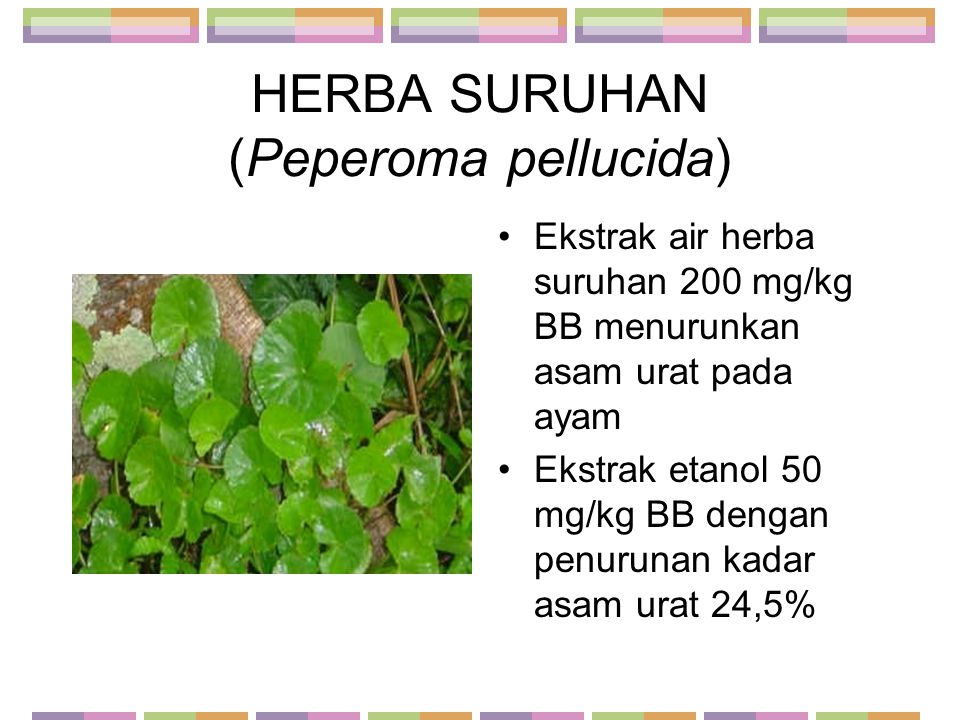 HERBA SURUHAN (Peperoma pellucida)