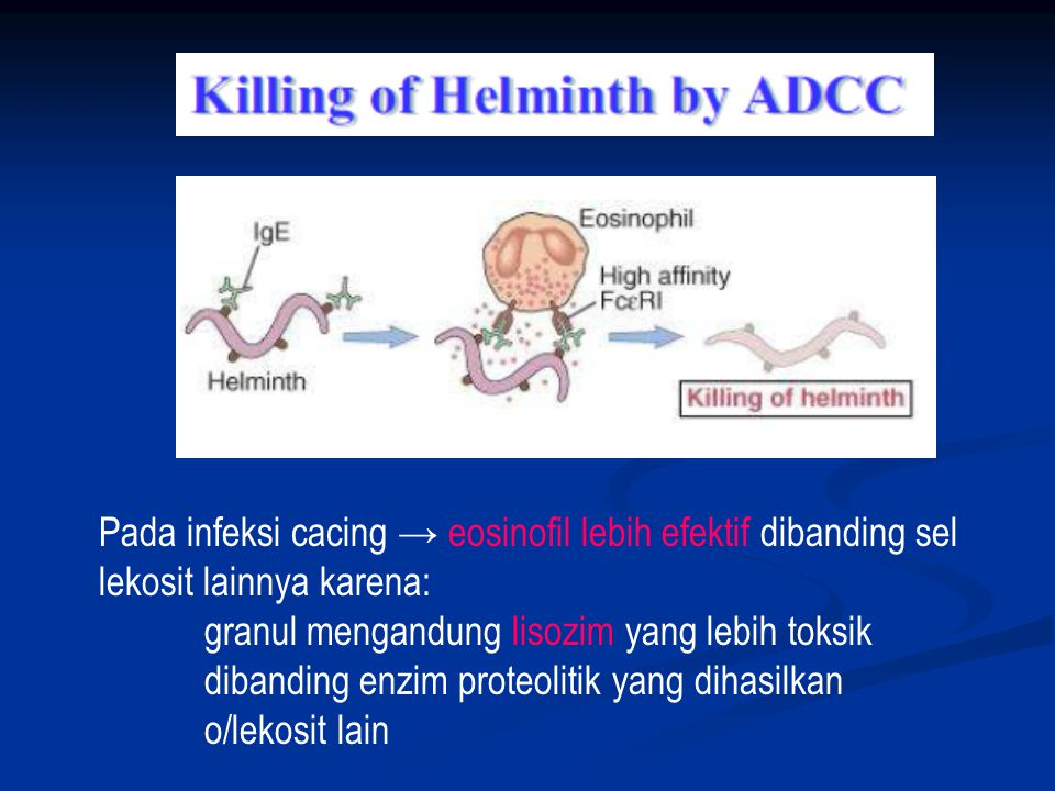 Pada infeksi cacing → eosinofil lebih efektif dibanding sel lekosit lainnya karena: