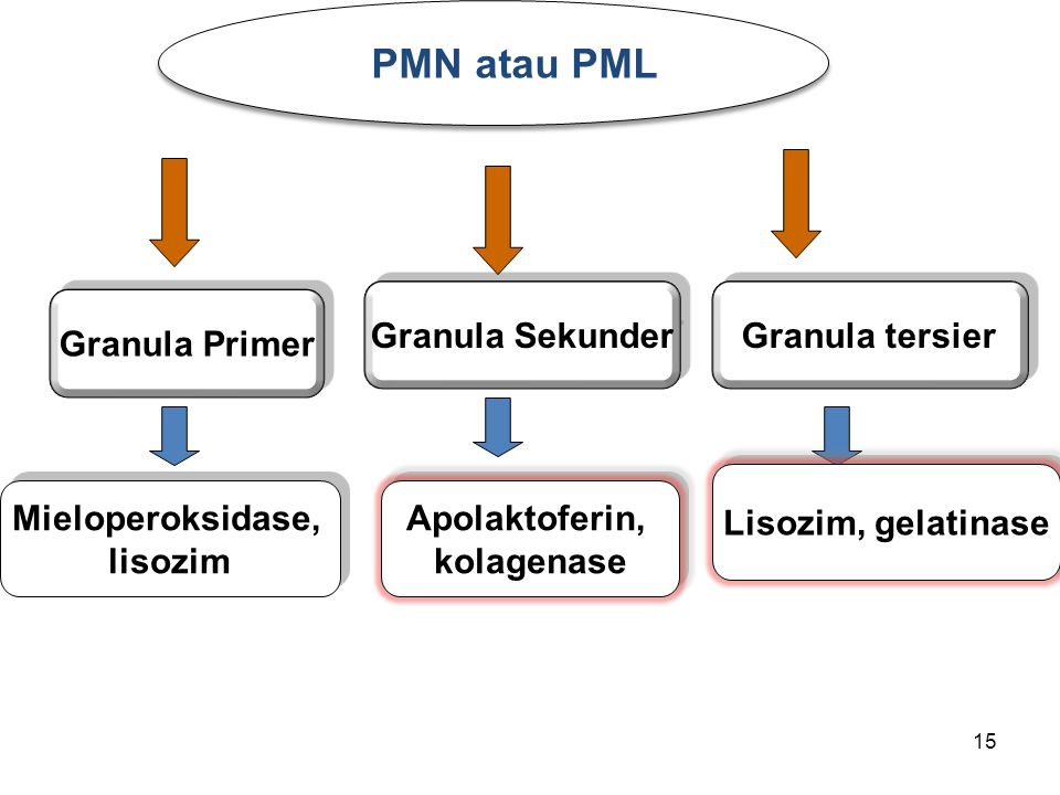 PMN atau PML Granula Sekunder Granula tersier Granula Primer