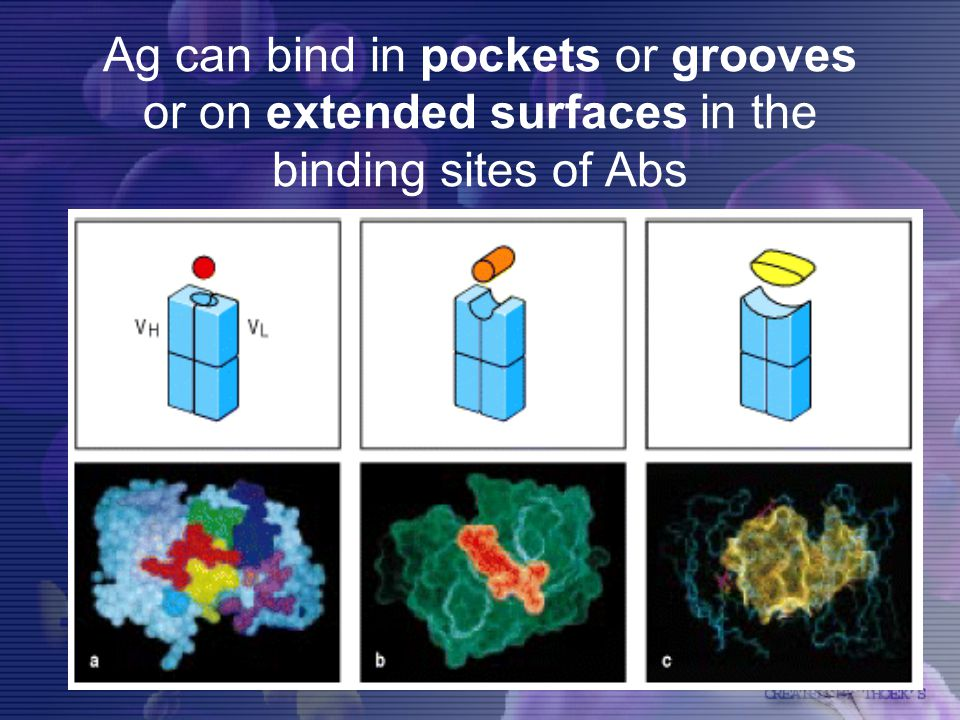 Ag can bind in pockets or grooves or on extended surfaces in the binding sites of Abs