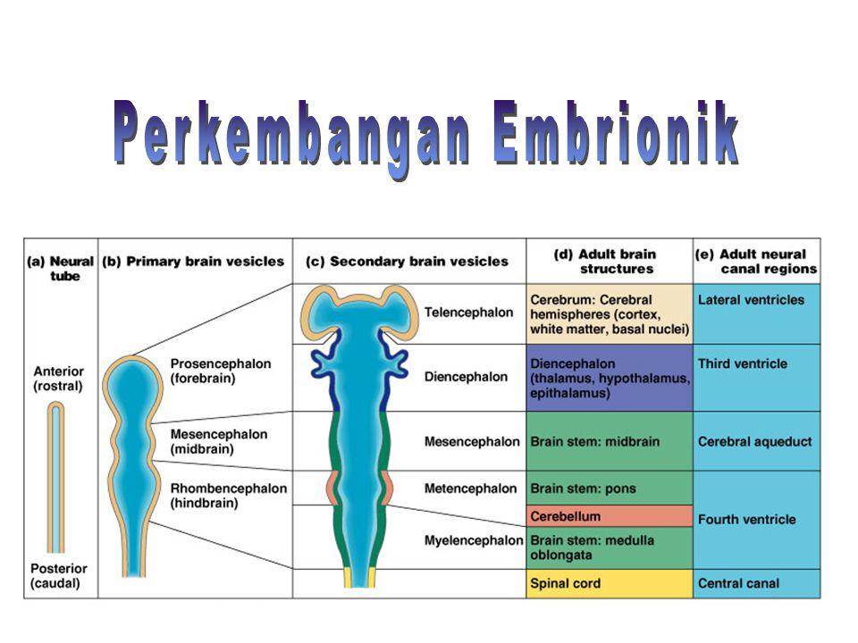 Perkembangan Embrionik