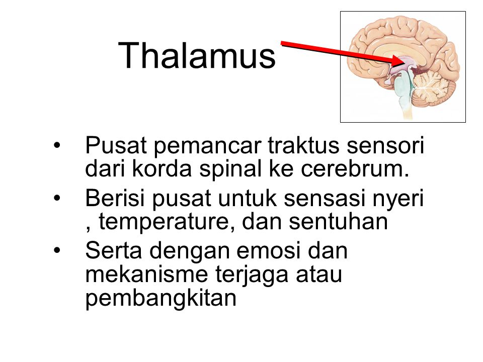 Thalamus Pusat pemancar traktus sensori dari korda spinal ke cerebrum.