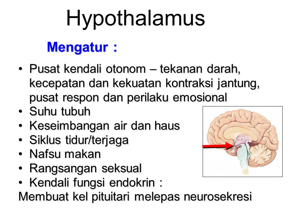 Hypothalamus Mengatur :