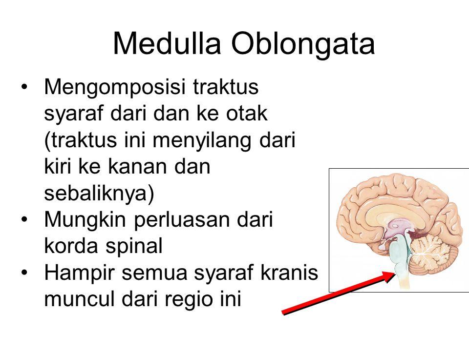 Medulla Oblongata Mengomposisi traktus syaraf dari dan ke otak (traktus ini menyilang dari kiri ke kanan dan sebaliknya)