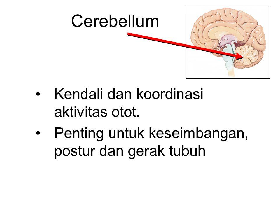 Cerebellum Kendali dan koordinasi aktivitas otot.