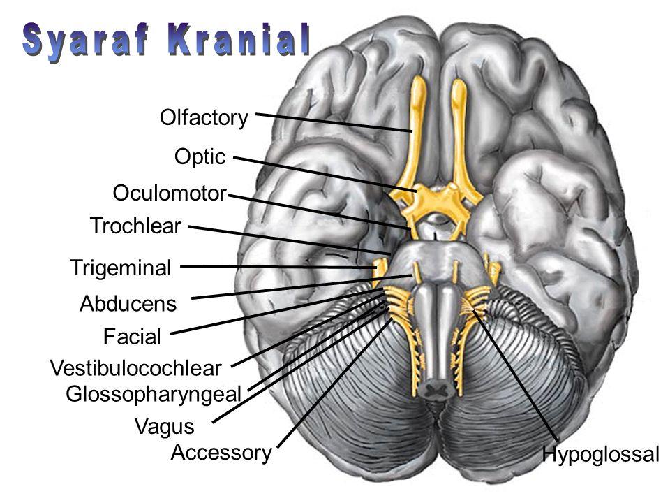 Syaraf Kranial Olfactory Optic Oculomotor Trochlear Trigeminal