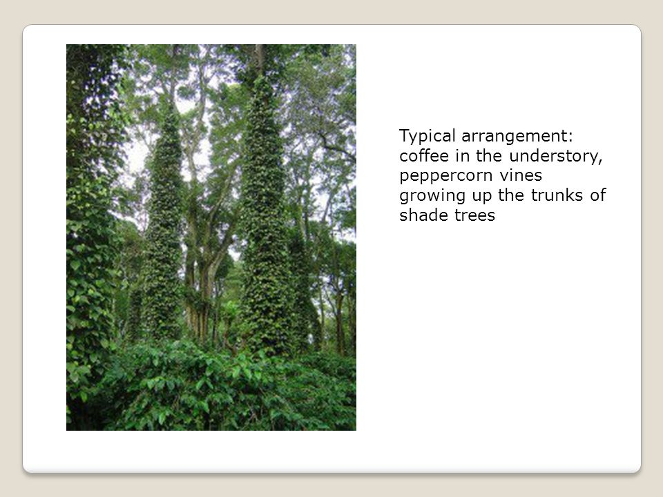 Typical arrangement: coffee in the understory, peppercorn vines growing up the trunks of shade trees