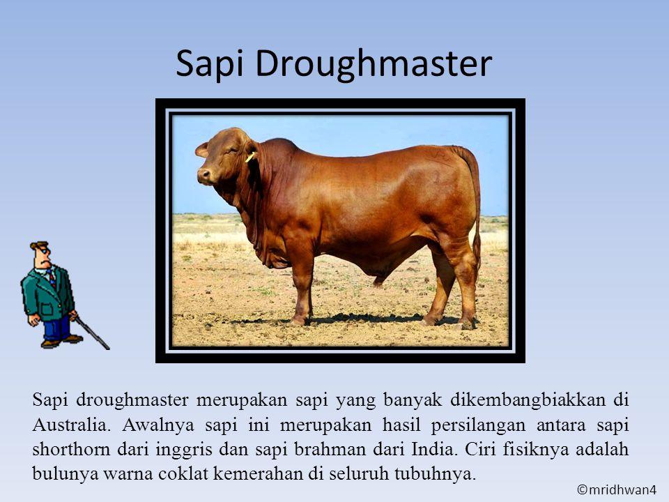 Sapi Droughmaster