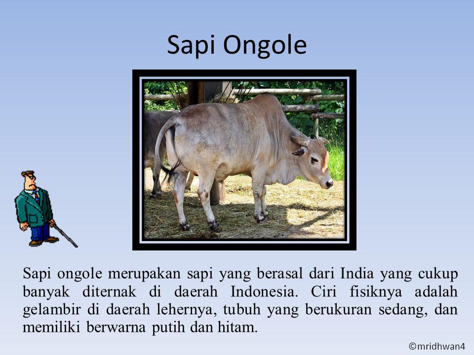Sapi Ongole