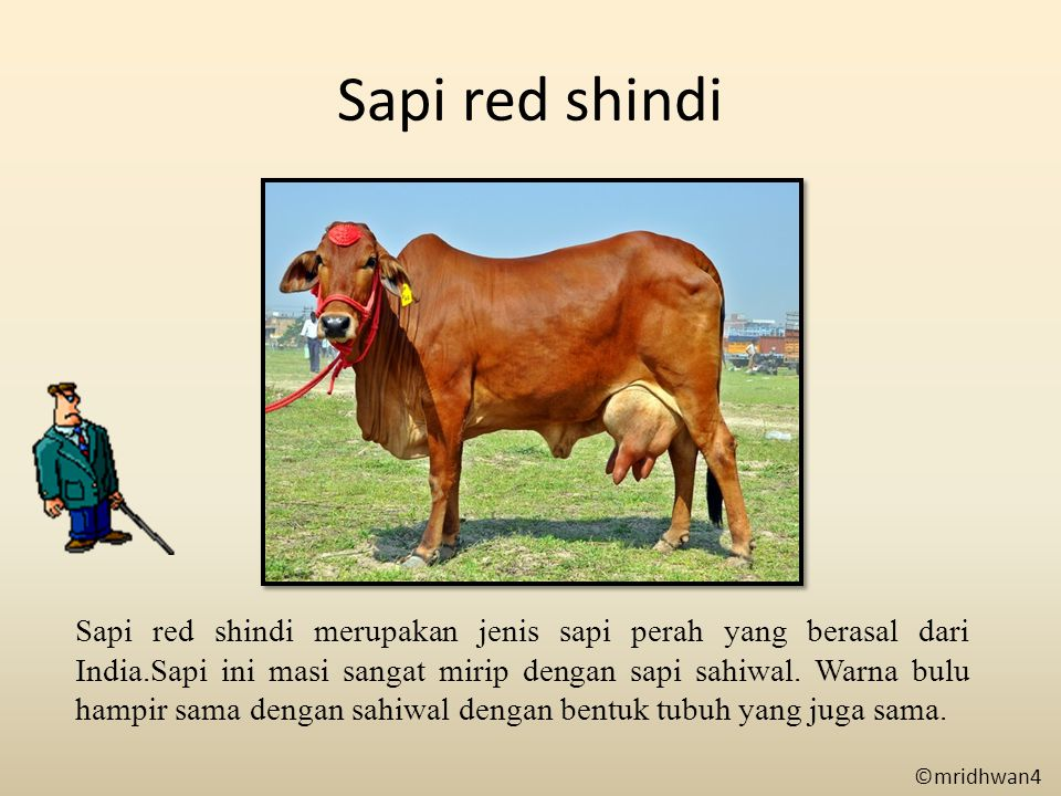 Sapi red shindi