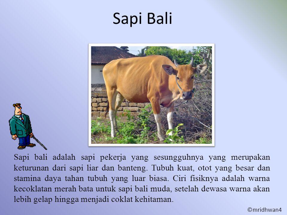 Sapi Bali