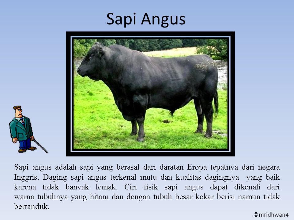 Sapi Angus