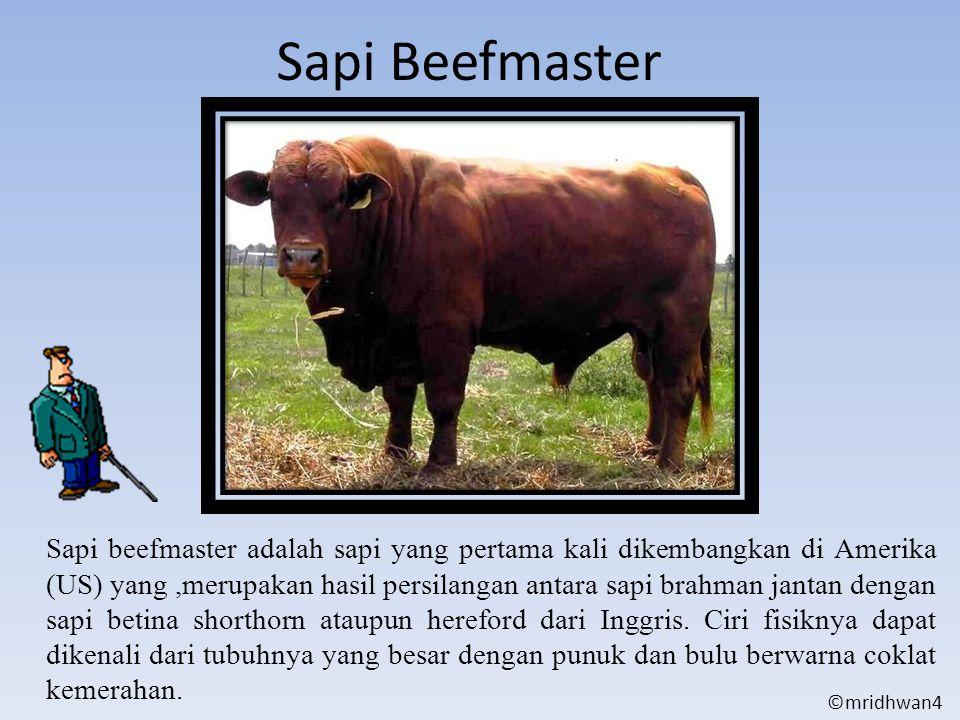Sapi Beefmaster