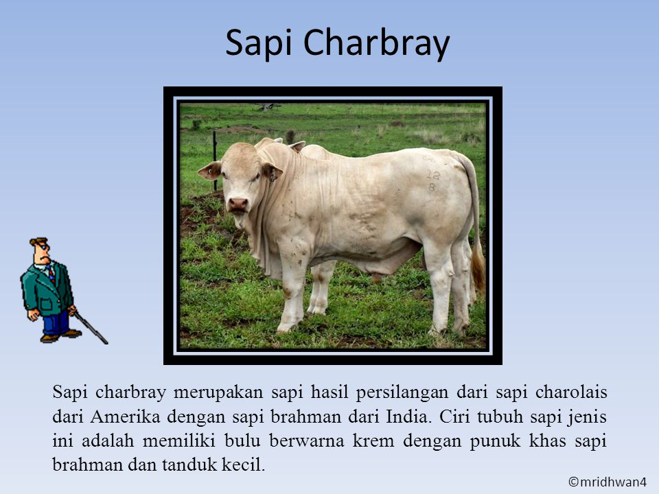 Sapi Charbray