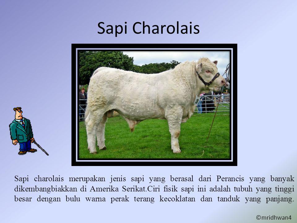 Sapi Charolais