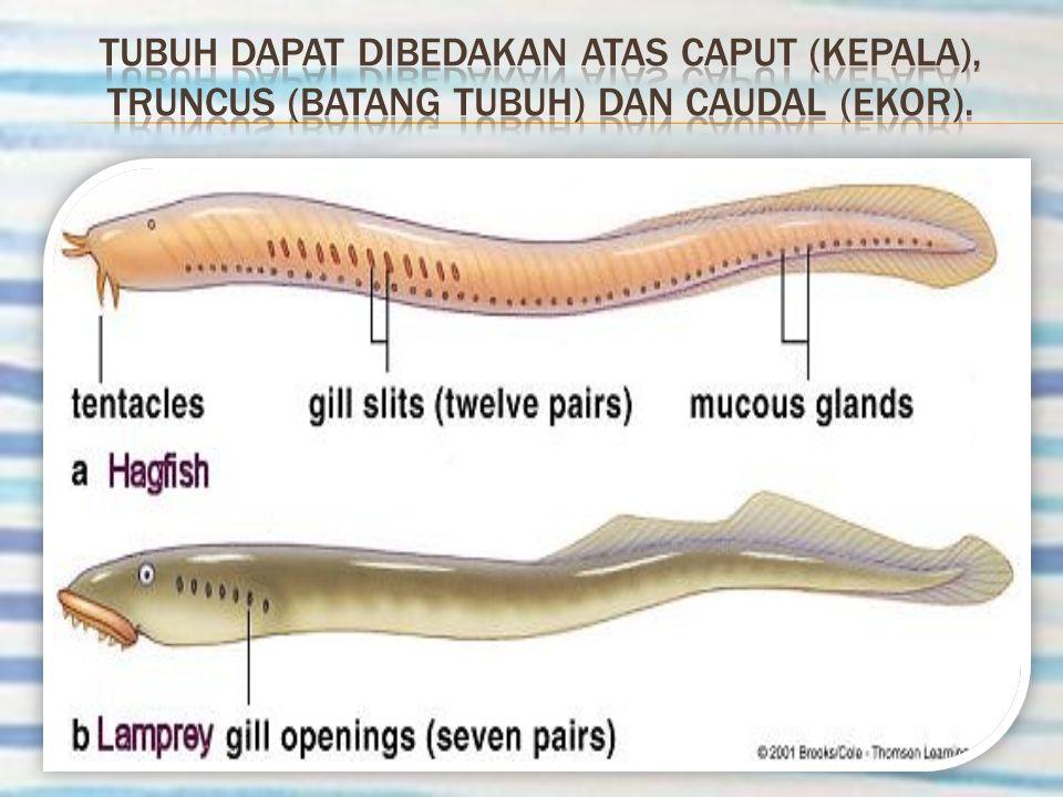 Tubuh dapat dibedakan atas Caput (kepala), truncus (batang tubuh) dan Caudal (ekor).