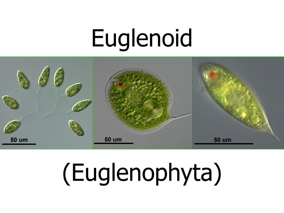 Euglenoid (Euglenophyta)