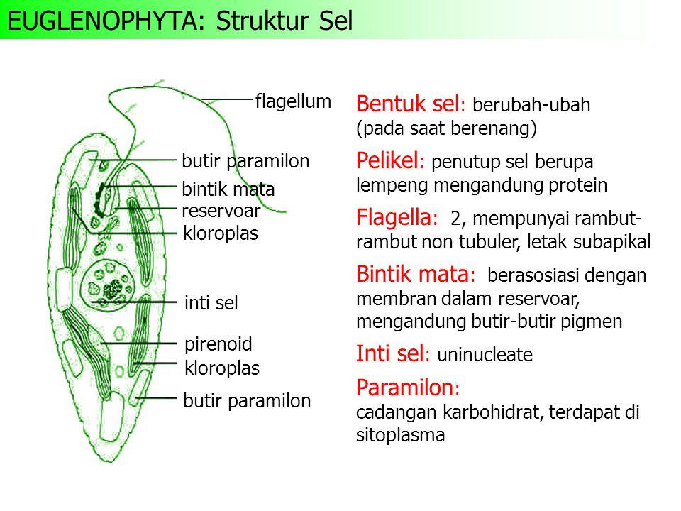 EUGLENOPHYTA: Struktur Sel