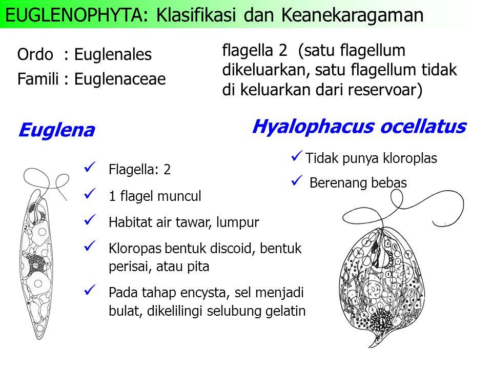 EUGLENOPHYTA: Klasifikasi dan Keanekaragaman