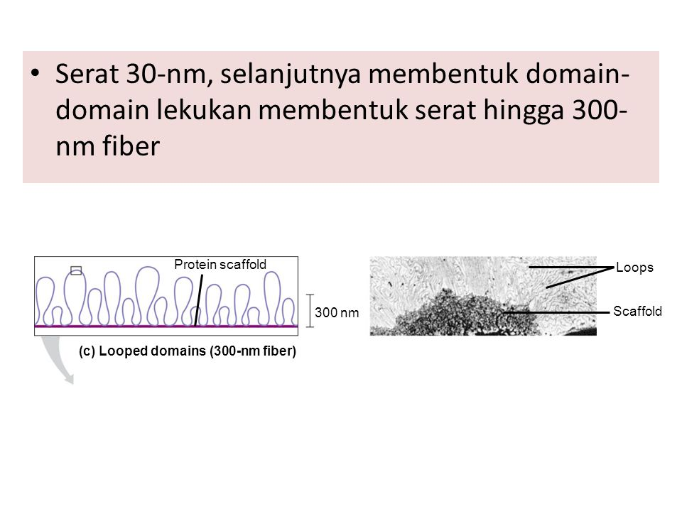 (c) Looped domains (300-nm fiber)