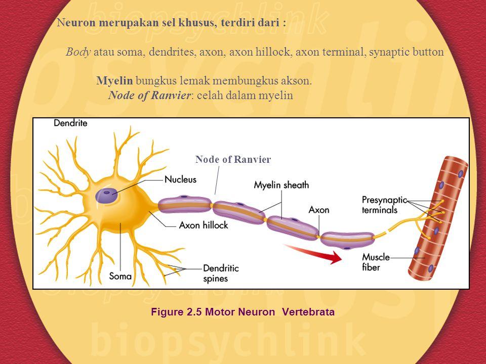 Figure 2.5 Motor Neuron Vertebrata