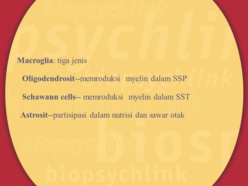 Macroglia: tiga jenis Oligodendrosit--memroduksi myelin dalam SSP