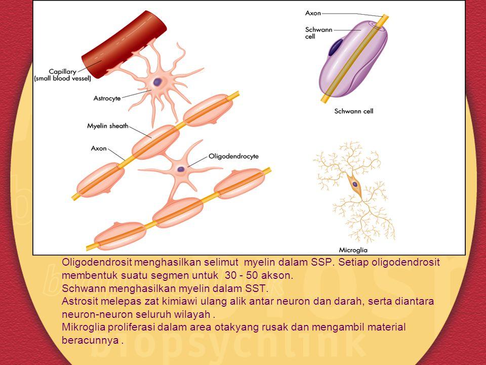 Gambar 2.11 (a) Bentuk beberapa sel glia Oligodendrosit menghasilkan selimut myelin dalam SSP.
