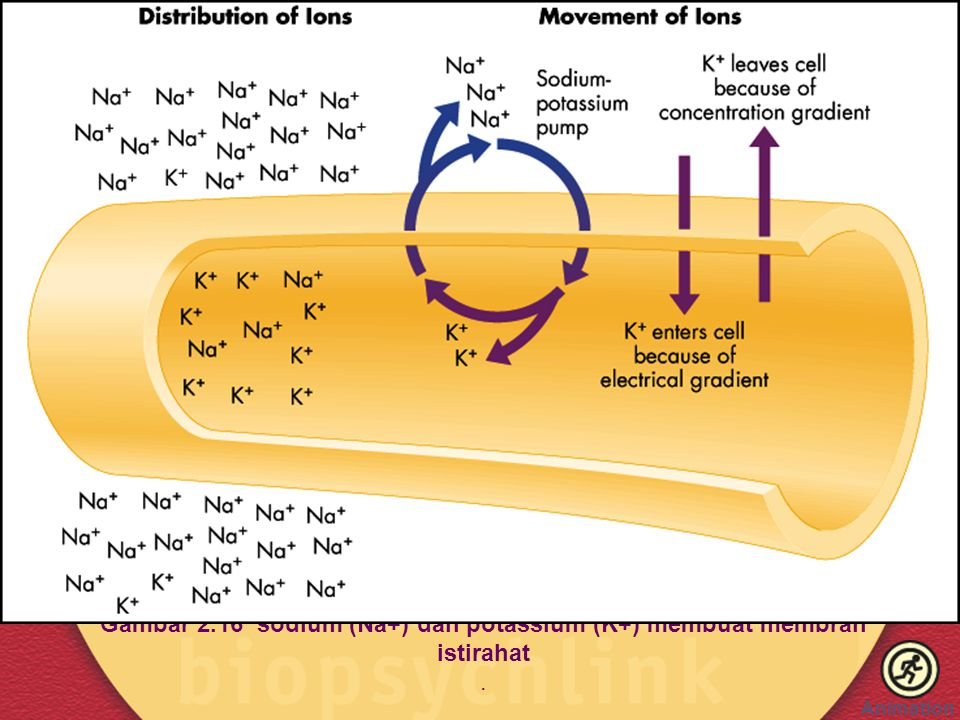 Gambar 2.16 sodium (Na+) dan potassium (K+) membuat membran istirahat .