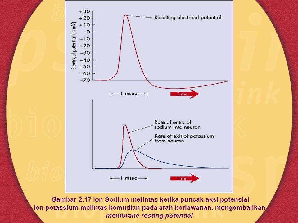 Gambar 2.17 Ion Sodium melintas ketika puncak aksi potensial Ion potassium melintas kemudian pada arah berlawanan, mengembalikan membrane resting potential