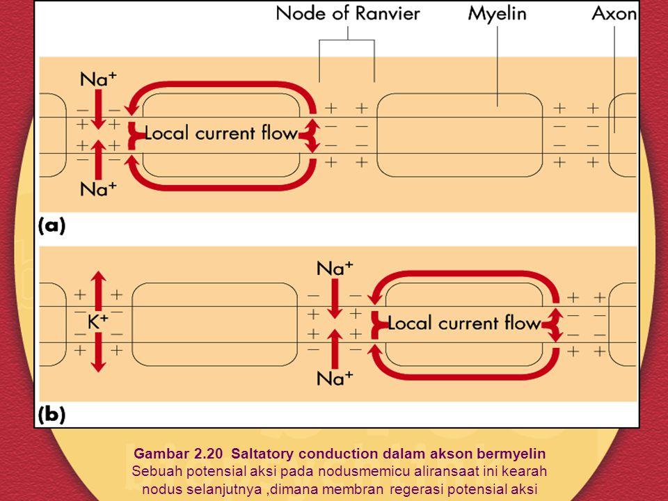 Gambar 2.20 Saltatory conduction dalam akson bermyelin Sebuah potensial aksi pada nodusmemicu aliransaat ini kearah nodus selanjutnya ,dimana membran regerasi potensial aksi