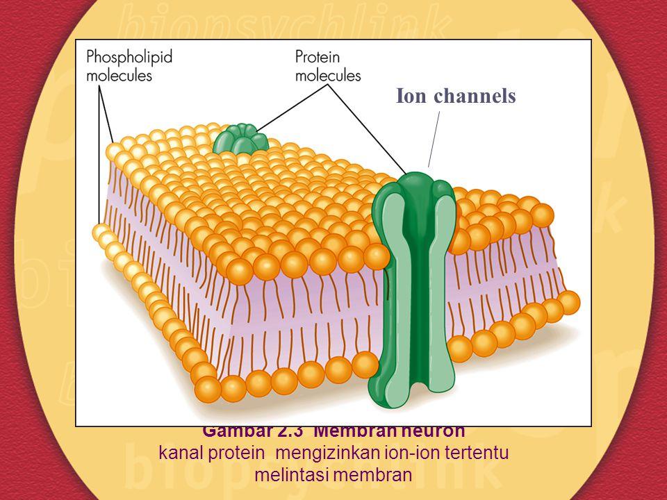 Ion channels Gambar 2.3 Membran neuron kanal protein mengizinkan ion-ion tertentu melintasi membran.