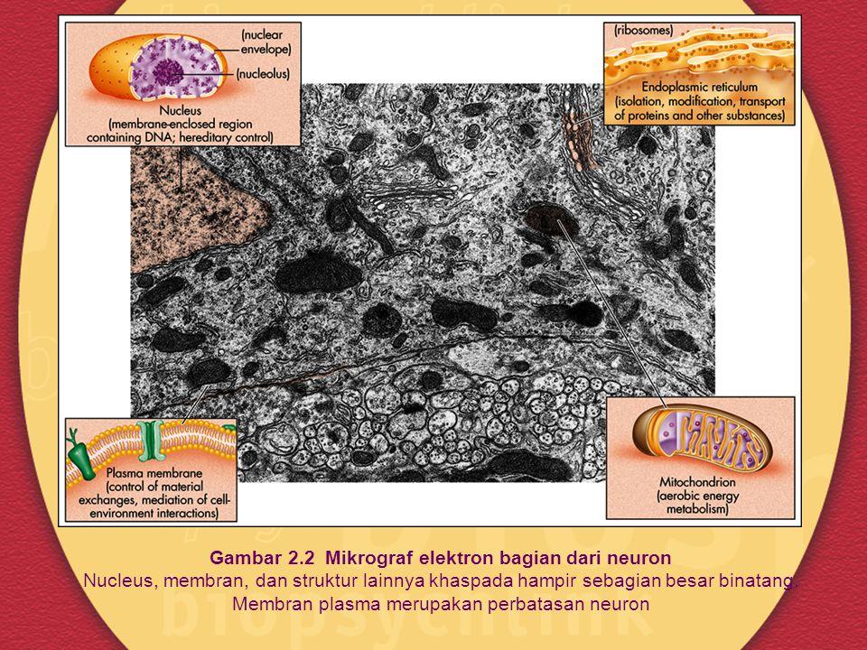 Gambar 2.2 Mikrograf elektron bagian dari neuron Nucleus, membran, dan struktur lainnya khaspada hampir sebagian besar binatang.