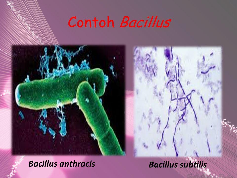 Contoh Bacillus Bacillus anthracis Bacillus subtilis