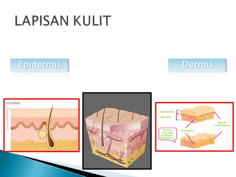 LAPISAN KULIT Epidermis Dermis