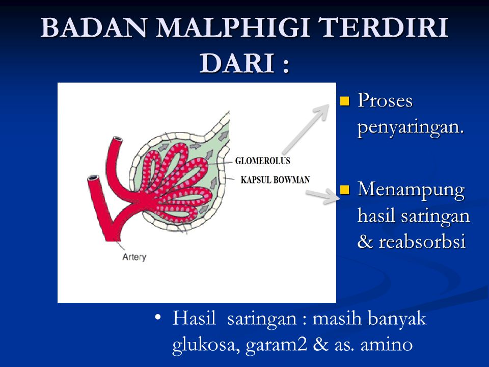BADAN MALPHIGI TERDIRI DARI :