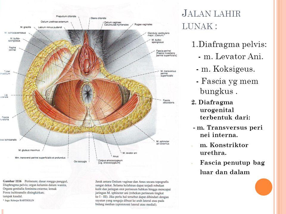 Jalan lahir lunak : 1.Diafragma pelvis: - m. Levator Ani.