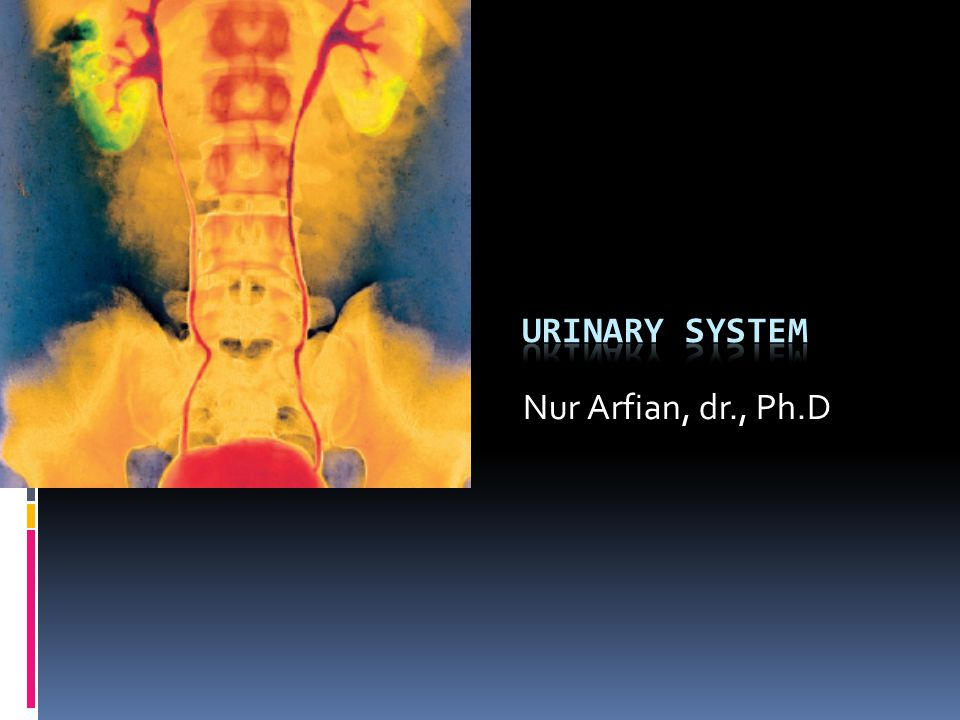 URINARY SYSTEM Nur Arfian, dr., Ph.D
